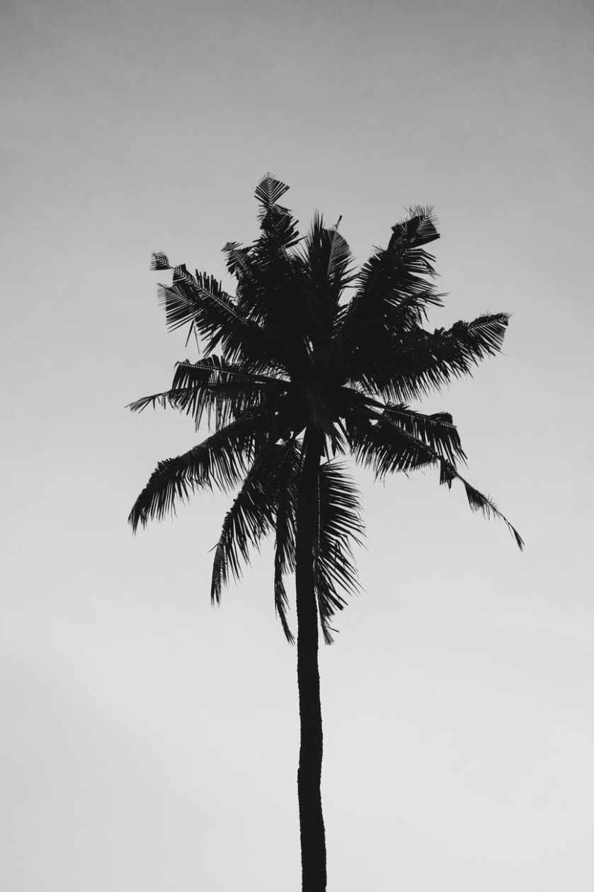 coconut tree under gray sky